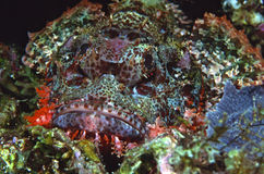 Well camouflaged scorpionfish. Scorpionfish lying in the coral reef Stock Images