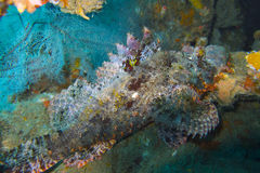 Well camouflaged scorpionfish off Padre Burgos, Leyte, Philippines Royalty Free Stock Image