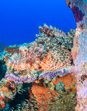 Well camouflaged Scorpionfish Royalty Free Stock Photography
