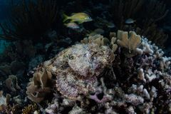 Spotted Scorpionfish in Caribbean Sea Stock Photo