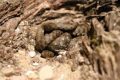 Well camouflaged wąż Zdjęcia Stock