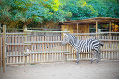 Well cared Zebra inside the fence of a farm Stock Photography