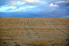 Well defined rows of cut wheat cover the hillside. Stock Images