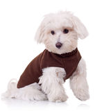 Well dressed bichon maltese Royalty Free Stock Image