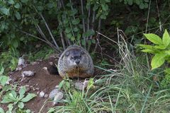 Well fed adult groundhog just out of burrow sitting staring. Ahead in summer stock photography