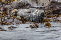 Well-fed Atlantic Grey Seal Royalty Free Stock Image