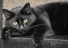 Well-fed black cat. Lying stock image