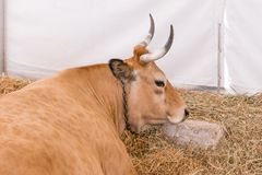 A well-fed healthy cow with big horns. Lies in a modern barn on hay stock photos