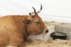 A well-fed healthy cow with big horns. Lies in a modern barn on hay stock image