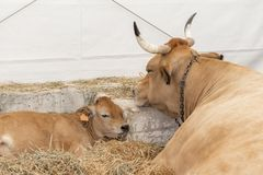 A well-fed healthy cow with big horns lies in a modern hay barn with a sleeping calf. The concept of maternal love and child care royalty free stock photos