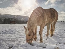 Well-fed horse breed Isabella rake in snow. Well-fed light horse breed Isabella rake frozen grass under the snow. Snowy meadow in countryside royalty free stock images
