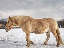 Well-fed horse breed Isabella rake in snow. Well-fed light horse breed Isabella rake frozen grass under the snow. Snowy meadow in countryside royalty free stock image