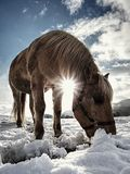 Well-fed horse breed Isabella rake in snow. Well-fed light horse breed Isabella rake frozen grass under the snow. Snowy meadow in countryside stock image