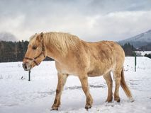 Well-fed horse breed Isabella rake in snow. Well-fed light horse breed Isabella rake frozen grass under the snow. Snowy meadow in countryside royalty free stock photos