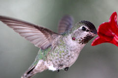 Well Fed Hummingbird. Close-up of well-fed hummingbird, feeding while in flight Royalty Free Stock Photo
