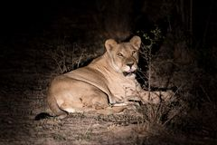 Well fed. Lioness rests near Kruger National Park South Africa after feeding well Stock Image