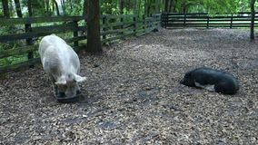 Well fed pigs at a farm in florida. Two fat sows in a pig-sty stock footage