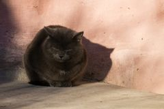 Well-fed Russian blue cat sweetly squinted under the rays of the winter sun. Against the background of the vintage wall Royalty Free Stock Photo