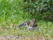 Well Fed Squirrel Eating in Grass. Front view of a heavy squirrel eatting in the grass stock image