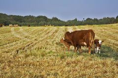 The well-groomed corpulent cow with calf Royalty Free Stock Image