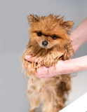 Well groomed dog. Grooming. Grooming of a pomeranian dog. Funny pomeranian in the bath. Dog taking a shower. Dog on white backgrou Royalty Free Stock Photography