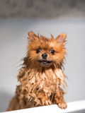 Well groomed dog. Grooming. Grooming of a pomeranian dog. Funny pomeranian in the bath. Dog taking a shower. Dog on white backgrou Royalty Free Stock Photos