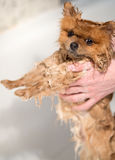 Well groomed dog. Grooming. Grooming of a pomeranian dog. Funny pomeranian in the bath. Dog taking a shower. Dog on white backgrou Stock Images
