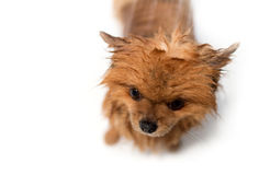 Well groomed dog. Grooming. Grooming of a pomeranian dog. Funny pomeranian in the bath. Dog taking a shower. Dog on white backgrou Stock Photography