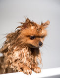 Well groomed dog. Grooming. Grooming of a pomeranian dog. Funny pomeranian in the bath. Dog taking a shower. Dog on white backgrou Royalty Free Stock Photo