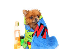Well groomed dog. Grooming. Grooming of a pomeranian dog. Funny pomeranian in the bath. Dog taking a shower. Dog on white backgrou Stock Photos