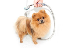 Well groomed dog. Grooming. Grooming of a pomeranian dog. Funny pomeranian in the bath. Dog taking a shower. Dog on white backgrou. Nd royalty free stock photos