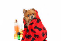 Well groomed dog. Grooming. Grooming of a pomeranian dog. Funny pomeranian in the bath. Dog taking a shower. Dog on white backgrou. Nd stock image