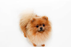 Well groomed dog. Grooming. Grooming of a pomeranian dog. Funny pomeranian in the bath. Dog taking a shower. Dog on white backgrou Stock Image