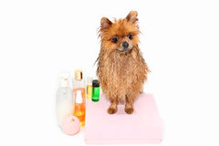 Well groomed dog. Grooming. Grooming of a pomeranian dog. Funny pomeranian in the bath. Dog taking a shower. Dog on white backgrou. Nd royalty free stock photography