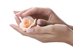 Well-groomed female hands. Holding a rose Stock Photo