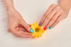 Well-groomed hands holding yellow chrysanthemum. Little chrysanthemum flower in gentle female hands. Hands treatment and care Stock Image