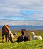 Well-groomed horses grazing. In a meadow near the farm.  Farm grazing herds. Iceland in the summer stock images