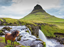 The well-groomed Icelandic horse is grazed Royalty Free Stock Photography