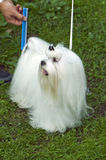 Well-groomed Maltese lap-dog. For dog show outdoor shot Stock Image