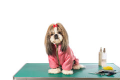 Free Well Groomed Shih-tzu At The Groomer Table In Pink Dog Costume Stock Photos - 62002883