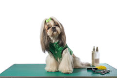 Well groomed shih-tzu at the groomer table in green dog costume. Isolated on white stock photos