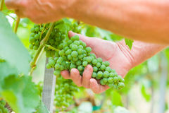 Well grown grape. Senior grape professional checking the development status of this years grape produce Royalty Free Stock Photos