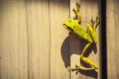 Well Hello There. Green Tree Frog entering house through open window Royalty Free Stock Images
