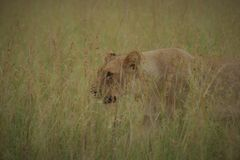 Well hidden in the long African grass royalty free stock photography