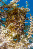 Well hidden Sargassum Frogfish in drifting sea weed. A Sargassum Frogfish lies in wait on a drifting piece of sea weed stock photography