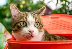 Well-kept cat with large beautiful eyes. Pampered pet. A beautiful cat with big green eyes in a red basket on the background of a fresh green summer garden stock image