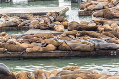 The well-known Pier 39 in San Francisco with sea lions. Animals are heated on wooden platforms Royalty Free Stock Photo