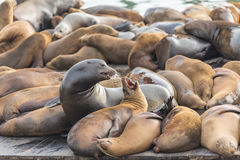 The well-known Pier 39 in San Francisco with sea lions. Animals are heated on wooden platforms Royalty Free Stock Image