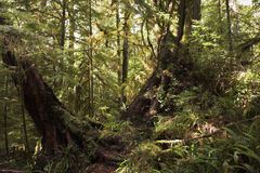 Well-known Rainforest on island Vancouver stock image