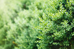 A well landscaped  hedge of bushes  boxwood Stock Photography
